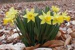 Daffodil04
